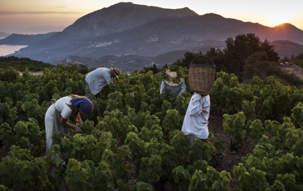 Picking the famous Muscat grapes at the Metaxa vineyard in the Island of Samos